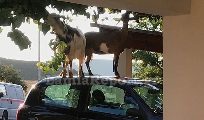 Μία μουριά, δύο κατσίκες και ένα κατεστραμμένο αυτοκίνητο [εικόνες]