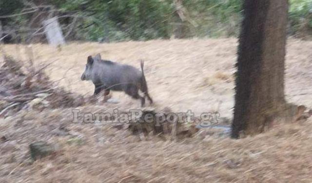 Δυτική Φθιώτιδα: Αγριογούρουνα, κάνουν βόλτες στις αυλές (ΒΙΝΤΕΟ)