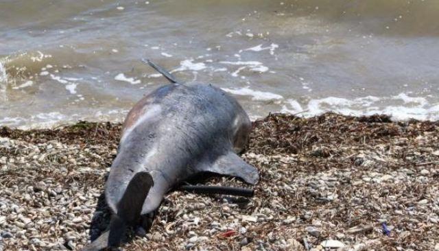 Νεκρό δελφίνι στο Αχίλλειο