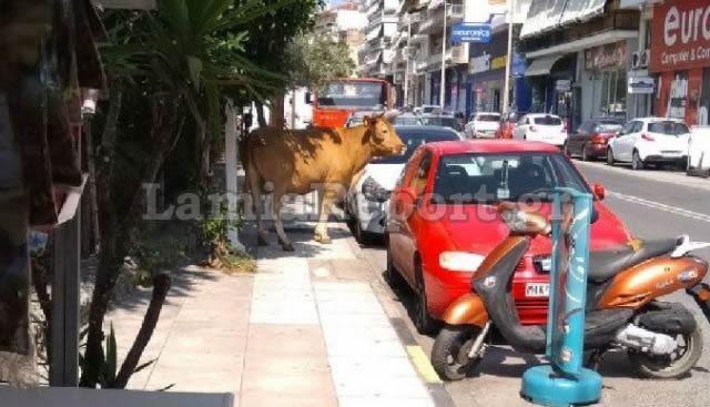 Δείτε εικόνες από τον ταύρο που αναστάτωσε τη Λαμία