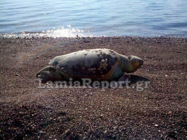 Στυλίδα: Δυο καρέτα - καρέτα νεκρές στην παραλία