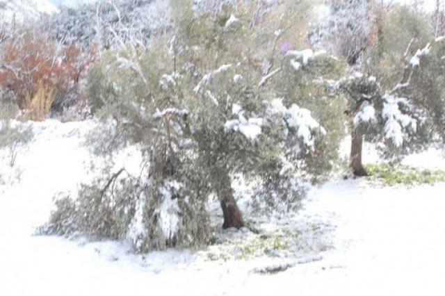 Ο Δήμος Στυλίδας καταγράφει τις ζημιές από τον παγετό στους ελαιώνες