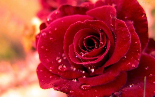 Τριαντάφυλλο, κυνόροδο, ροδέλαιο με θεραπευτικές ιδιότητες για πονοκέφαλο, ζαλάδες, κατάθλιψη, πληγές, στομαχικούς πόνους